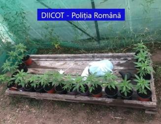 Șase traficanți de cannabis din Arad, arestați după o acțiune în forță a poliției