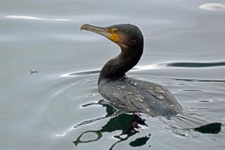 """""""Daea, nu fi trist!"""" Impuscarea cormoranilor a trecut pe repede-inainte de comisiile din Senat"""