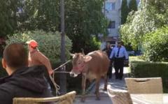 """Operatiunea vaca"" - misiune neobisnuita a politistilor locali (Video)"