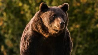 """""""Trofeul"""" de vanatoare rezultat in urma uciderii ursului Arthur este in Romania. Ministrul Mediului: """"Nu poate sa plece din tara, este fapta penala"""""""