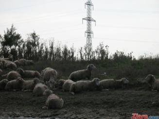 Aberatia zilei: Sfantul Graal al botanicii romanesti, lasat la voia turmelor de oi