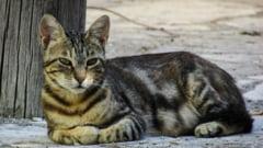 Aberatia zilei: Pisicile maidaneze, inamicul public nr. 1 in Bistrita - Sunt acuzate ca saboteaza masini