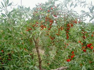 Afaceri inedite in agricultura Cultura de goji in Romania - sfaturi de la producator