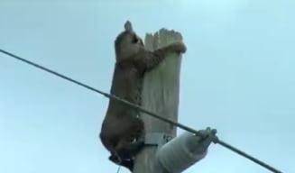 Clipul zilei: Operatiunea de salvare a unui linx catarat pe un stalp electric