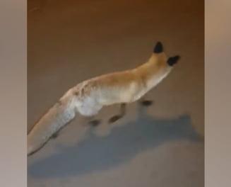 Clipul zilei: O vulpe se plimba nestingherita prin Bucuresti