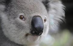 Clipul zilei: Peste 100 de koala salvati si ingrijiti intr-o scoala