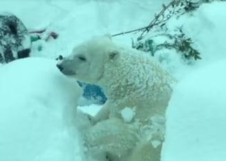 Clipul zilei: Un urs polar super fericit si niste foci jucause au strans 5 milioane de vizualizari