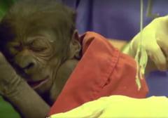 Fotografia zilei: Puiul de gorila nascut prin cezariana