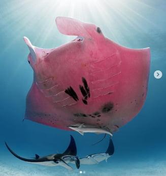 Fotografia zilei: Pisica de mare unica in lume, de culoare roz si 3,3 metri