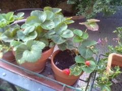 Gradinar de oras Intr-un balcon din Italia cresc in pamant romanesc legume si fructe aromate