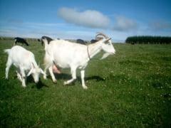 Idei de afaceri: Bani frumosi din cresterea caprelor si oilor