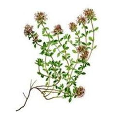Plantele vindecatoare ale lunii mai - cimbrisorul, bun in caz de dureri reumatice