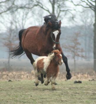 Scandalul carnii de cal: Britanicii au dat, de fapt, manzul drept manzat