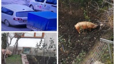 FOTO Un porc fugit din remorca a fost returnat proprietarului de catre politisti. Cum au reusit oamenii legii sa rezolve cazul