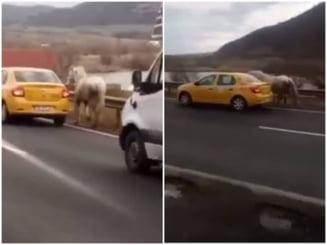 """VIDEO Cal legat de un taxi si """"plimbat"""" pe marginea unui drum national din Sibiu"""
