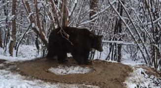VIDEO Imagini dramatice cu un urs eliberat dupa 20 de ani de captivitate. Animalul se invarte in cerc dupa doua decenii la Zoo Piatra Neamt