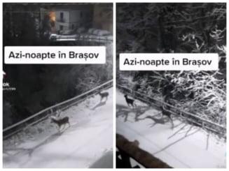 VIDEO Imagini splendide cu cerbi surprinsi, noaptea, in fata unor pensiuni din Brasov, dupa ce au coborat din padure