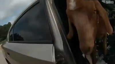 VIDEO O capra a ros documentele unui ofiter de Politie. Imaginile au devenit virale
