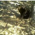 VIDEO Un urs simpatic se scarpina de un copac intr-o padure din Parcul National Retezat