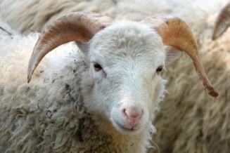 100 de oi au murit strivite în Tulcea după ce TIR-ul în care se aflau s-a răsturnat