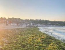 11.000 de tone de alge au fost adunate de la inceputul sezonului estival de pe plajele Marii Negre