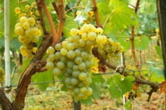 13.500 Euro/Ha pentru infiintarea plantatiilor viticole.Fermierii salajeni, interesati de viticultura