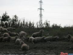 450 de oi blocheaza o strada din Curtea de Arges (Foto)