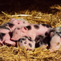 70.000 de porci din Marea Britanie ar putea fi eutanasiați din cauza crizei de personal și a pandemiei