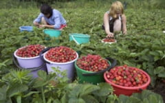 800 de locuri de munca disponibile in agricultura, in Spania. Castigul, aproximativ 42 de euro pe zi
