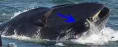 A ajuns in gura unei balene, dar a supravietuit (Video)