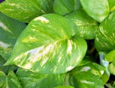 A fost creata planta care curata temeinic aerul din casa, folosind proteina care ne ajuta sa procesam alcoolul