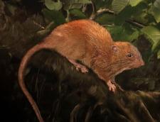 A fost descoperita o noua specie de sobolan. E imens, masoara jumatate de metru