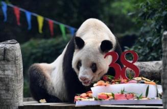 A murit cel mai batran urs panda urias aflat in captivitate. Xinxing avea 38 de ani