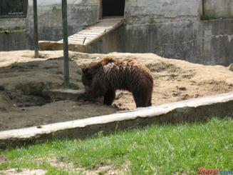 A patra oara intr-o saptamana: Ursul a coborat iar la Cabana Postavaru, de unde a plecat cu bomboane si zahar