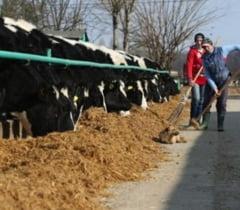 ANSVSA: Romania nu mai vinde bovine si ovine vii catre tarile UE, decat pentru sacrificare imediata