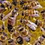 ANUNT: Guvernul Orban a aprobat Ajutorul de minimis de 25 lei/familia de albine Cererile se depun la DAJ!