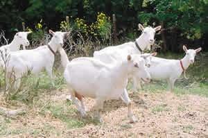 APIA a efectuat plati de 32,6 milioane lei pentru ovine si caprine