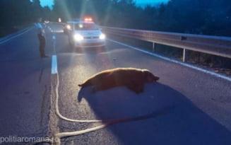 Accident pe DN 1, intre Sibiu si Brasov. Urs ranit de o masina, la iesire din Scoreiu