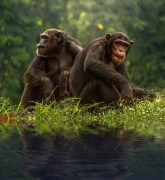 Aceleasi porniri avem si noi? Cimpanzeii isi satisfac o placere salbatica atunci cand li se ofera sansa
