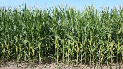 Afacere in agricultura - cum sa castigi bani cu o cultura de porumb