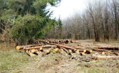 Afaceri cu lemn exploatat ilegal in padurile din Caras-Severin