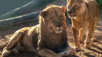 Africa de Sud a anuntat ca va interzice cresterea leilor in captivitate pentru a fi vanati
