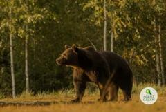 """Agent Green: """"Uciderea ursului Arthur s-a facut ilegal in plin infringement al Comisiei Europene"""""""
