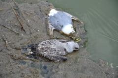 Alarma. Peste 1.000 de pescarusi, gasiti morti in lacul de la Mihailesti