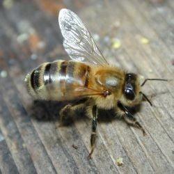 Albinele, adevarati terapeuti