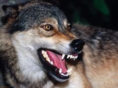 Alerta in localitatea din Arges unde o femeie a fost muscata de lup. Era turbat