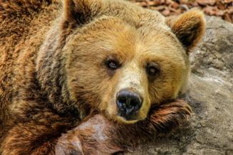Alerta intr-o localitate din Sibiu, dupa ce un urs a intrat in curtea unui localnic