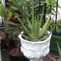 Aloe vera face minuni pentru sanatate, dar stii care sunt efectele adverse?