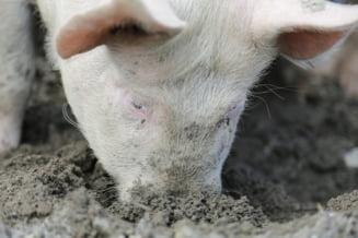 Alte doua focare de pesta porcina au aparut in Braila