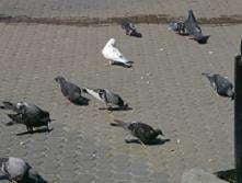 Amenda pentru hranirea porumbeilor